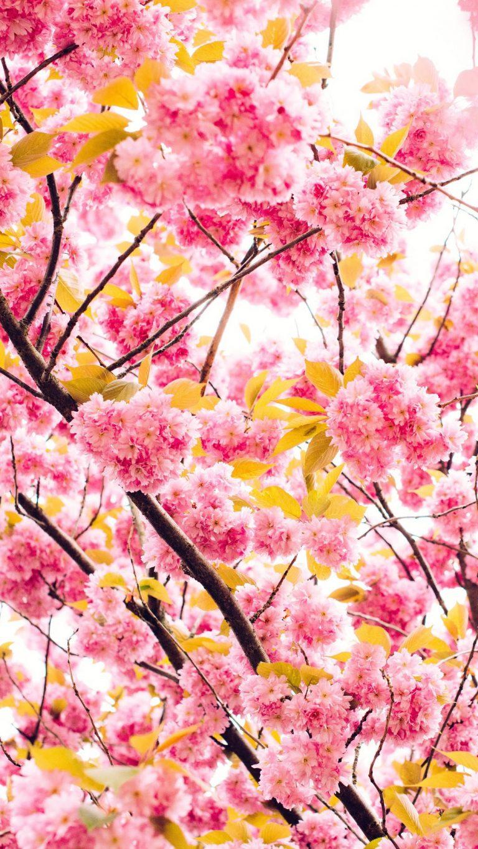 pink blossoming tree 8k nw 1080x1920 1 768x1365 - +84 Fondos de Pantallas femeninos (para chicas)