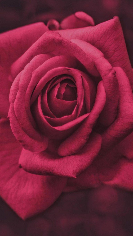 pink rose flower macro photography io 1080x1920 1 768x1365 - +84 Fondos de Pantallas femeninos (para chicas)